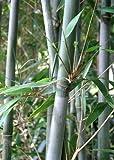 Bashania Fargesia, Chinese Blue Cane Bamboo, #1 Size Live Plant
