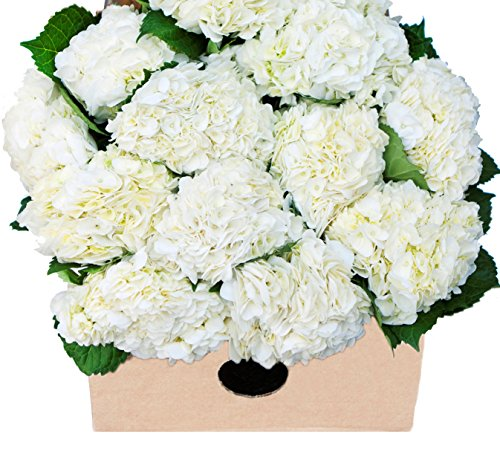 Farm2door farm fresh hydrangeas 15 fresh white hydrangeas farm2door farm fresh mightylinksfo