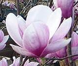 Magnolia soulangeana | Tulip Tree | 5_Seeds