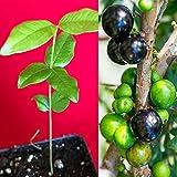 Jaboticaba Myrciaria Cauliflora Sabara Brazilian Grape Seedling Plant Potted Fruit Tree Jabuticaba