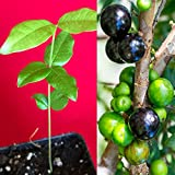 Jaboticaba Myrciaria Cauliflora Sabara Brazilian Grape Seedling Plant Potted Fruit Tree Jabuticaba