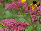 6 Starter Plants of Sedum Spectabile Indian Chief