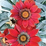 Gazania 25 Seeds - Kiss Frosty Red - Large Round, Deep Red Flowers