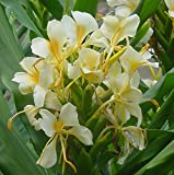 Yellow Butterfly Ginger - Hedychium Flavum, Fragrant Sweet Flowers to Enjoy Year after Year, Root, Plant, Rhizome