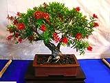 CRIMSON BOTTLEBRUSH - 300+ seeds - Callistemon citrinus - Tree Bonsai