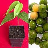 Spanish Lime Genip Guinep Ginepa Limoncillo Mamoncillo Fruit Seedling Starter Pl