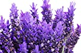 RDR 100 Lavender Vera Seeds - True Lavender, English Lavender, Lavandula Angustifolia