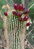 5 Seeds of Neobuxbaumia Polylopha Hardy Tree Cacti