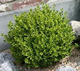4 Year PLANT of Buxus Sempervirens Mont Bruno