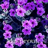100 Seeds Exacum Affine Seeds Exacum affine Seeds Fragrant Plant Seeds Home & Garden 3 #32706319935ST