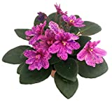 "Miniature African Violet - 1 Plant/2"" Pot - Great for Terrariums/Fairy Gardens"