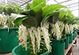 5 BULBS Rhizomes GLOBBA WINITII WHITE FRESH EASY TO GROW + FREE PHYTO Flower Fresh & Viable From Garden