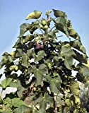 Diesel Fuel Plant - Jatropha - 10 Seeds