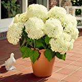 Annabelle Hydrangea - Shrubs with Developed Root Systems in Containers - Heavy Blooming Variety - 3 Gallon