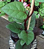 Malabar Red Spinach 4 Plants - Ornamental/Edible - Grow Indoors or Out