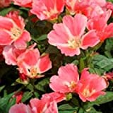 100+ Orange Glory Godetia Flower Seeds / Grandiflora / Annual