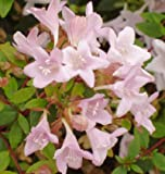Abelia Sunny Anniversary Potted Plant, Nice Starter Plant, Nice addition to your Garden, Simply Gourgeous Flowering Perenial