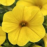 Calibrachoa Seeds ~ Kabloom Yellow ~ Trailing for Hanging Baskets ~ NEW 2015