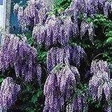 10 Seeds Chinese Wisteria (Wisteria sinensis) Flowering Tree Vine