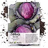 Seed Needs, Red Acre Cabbage (Brassica oleracea) 300 Seeds Non-GMO
