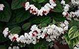 LIVE PLANTS RED WHITE BLEEDING HEART VINES GLORY-BOWER CLERODENDRUM EXOTIC TROPICAL FLOWERS CLIMBING TRAILING LANDSCAPING HOUSEPLANTS