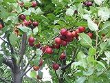12 Seeds CVI Myrobalan Cherry Plum Fruit Tree (Prunus cerasifera)