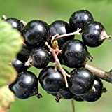 """Black currant CONSORT, plant 6-8"""" tall, sent with soil"""
