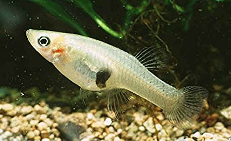 Gambusia fish story in telugu and how it makes mosquitoes run away