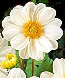 Sneezy Collarette Flowered Dahlia - #1 Size Root Clump - Pure White