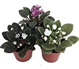 "Miniature African Violet - 3 Plants/2"" Pot - Great for Terrariums/Fairy Gardens unique from Jmbamboo"