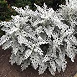 Outsidepride Cineraria Dusty Miller Silverdust - 5000 Seeds