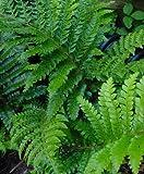 "(1 Gallon Plant) TASSEL FERN, Polystichum polyblepharum means ""Many Eyelashes"". Gorgeous, Deep, Glossy Green Leaves, Hardy to Zone 5"