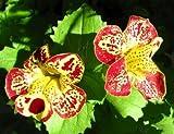 Organic Flower seeds Mimulyus Mix (Mimulus hybridus) - 1000 SEEDS.