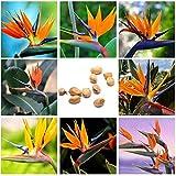 Potato001 10Pcs Rare Strelitzia Reginae Flower Seeds Bird of Paradise Tropical Plant Decor