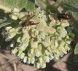 Asclepias arenaria   Sand Milkweed   10_Seeds