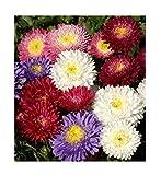 David's Garden Seeds Flower Aster China Powderpuff Mix SL8790 (Mulit) 500 Non-GMO, Open Pollinated Seeds