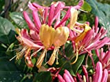 "Gold Flame Honeysuckle Vine - Lonicera - Very Hardy - 2.5"" Pot"