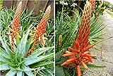 10 Seeds Tree Aloe Seeds (Aloe Arborescens) Flowering Succulent- Perennial Medicine Plant