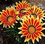 gazania seeds, gazania flower seeds, gazania rigens garden plants, perennial planting - 100 seeds/bag