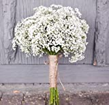 Baby's breath Gypsophila elegans 1000 seedsCut flower Fast Easy Grow