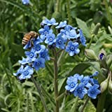 Outsidepride Chinese Forget Me Not Flower Seed - 1 LB