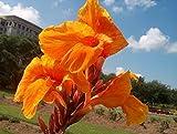 2 Tall Canna Lily - Orange Beauty - Bulbs/Roots/Rhizomes/Tubers/Plants