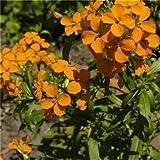 Seedville Cheiranthus Cheiri English Wallflower Flowers - 300 Seeds