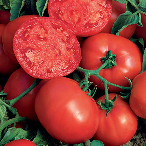 Burpee 'BushSteak' Hybrid | Red Beefsteak Slicing Tomato | 40 Seeds