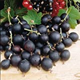 """6+ unrooted cuttings 6+"""" of Jostaberry (hybrid of black currant & gooseberry)"""