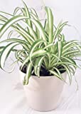 """Ocean Spider Plant - Easy to Grow - Cleans the Air - 4"""" ceramic white pot Pot"""