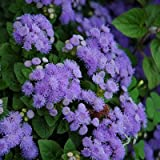 Ageratum Seeds (Dwarf) - Blue Mink - Packet, Flower Seeds