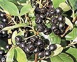 ARONIA MELANOCARPA 'VIKING' - BLACK CHOKEBERRY- EDIBLE- STARTER PLANT - DORMANT