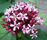 "Clerodendrum Bungei 8-12"" Tall Potted Plant"