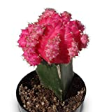 Grafted Moon Cactus Gymnocalycium Mihanovichii (Pink)